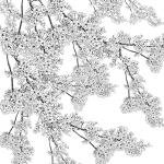 MS000458-350 桜2